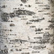 Birch bark - Photo