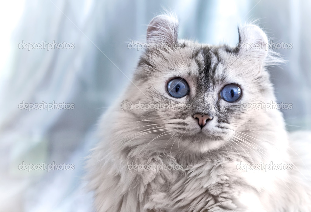 American Curl cat on light blue background — Stock Photo #5682421