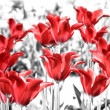 Red tulips — Stock Photo #5763959
