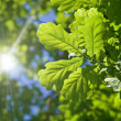 Oak branches shined with the sun — Stock Photo
