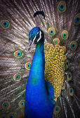 Portrait of beautiful peacock — Stock Photo