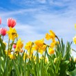 Tulips and Narciss — Stock Photo