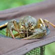 Crayfish astacus. Large and lively cancer close up. — Stock Photo