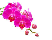 Orchid. Branch of the orchid flowers and buds of flowers on a white backgro — Stock Photo