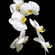 Orchid Phalaenopsis. Flowers white orchids on a black background. — Stock Photo #5596176