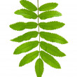 Stock Photo: Green leaf mountain ash (Sorbus) closeup. Isolated.