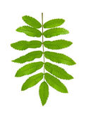 Green leaf mountain ash (Sorbus) closeup. Isolated. — Stock Photo