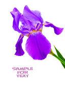 白い背景の上の花アイリス. — ストック写真