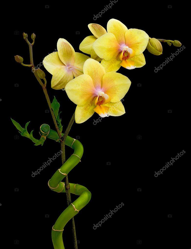 Fioritura giallo orchidea e bamb su sfondo nero foto for Orchidea fioritura
