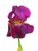 Blooming iris dark purple color closeup — Stock Photo