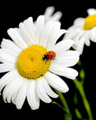 Ladybug sits on a flower daisies — Stock Photo
