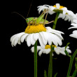White daisies and green grasshopper - Stock Photo