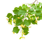 Linden blossom branch isolated on white background — Stock Photo