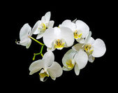 Flowers white orchids on a black background — Stock Photo