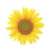 Bloeiende zonnebloemen op een witte achtergrond — Stockfoto