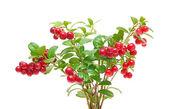 Bush cranberries on white background — Stock Photo