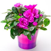 Blooming pink azalea in a purple pot — Stock Photo