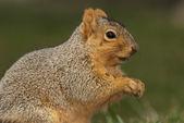 écureuil de profil brun — Photo