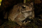 Asiatic Black-Spined Toad Bufo melanostictus — Stock Photo