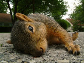 Sleeping Squirrel — Stock Photo