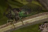 świeżo-wypasiona cykada — Zdjęcie stockowe