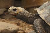 Perfil de tortuga — Foto de Stock