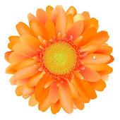 Orange Gerber — Stock Vector