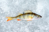 Ice and perch fish — Stock Photo