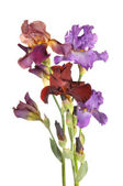 Multi-colored irises — Stock Photo