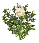 Bush of a white rose — Stock Photo