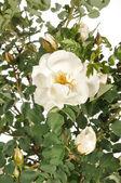 Rosa flor blanca — Foto de Stock