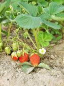 Strawberry bush — Stockfoto