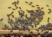 Bir kovan arı — Stok fotoğraf