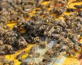 Plenty with bees — Stock Photo