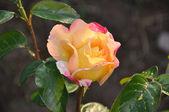 Rosa róża — Zdjęcie stockowe