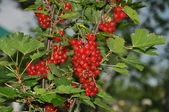 Ribes rosso — Foto Stock