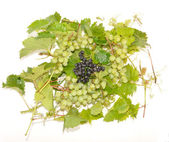 Grapes and black mountain ash — Stock Photo