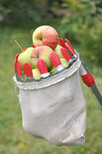 Apples in a bag for removal from a tree — Stock Photo