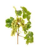 Grappe de raisins sur une branche — Photo