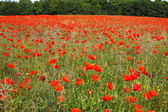 Fields of poppies in spring in France — Stock fotografie
