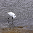 Little Egret, Aigrette Garzette - Stock Photo