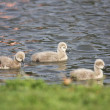 Stock Photo: Young black swan, cygnets anatidae