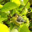 Baby blue tit, chick — Stock Photo #6249196