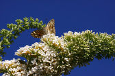 Butterfly cynthia cardui, la belle dame — Stock Photo