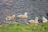 Young black swan, cygnets anatidae — Stock Photo