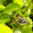 Baby blue tit, chick — Stockfoto
