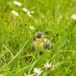 Baby blue tit, chick — Stock Photo #6250442