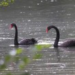 Stock Photo: Black swan, anatidae