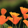 Eschscholtzia of California, california poppy — Stock Photo