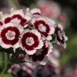 Stock Photo: Sweet William